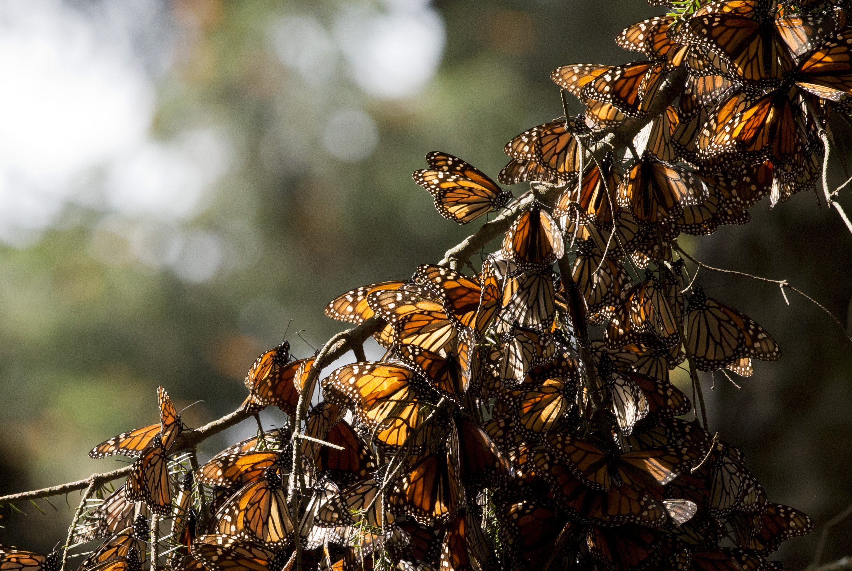 Monarch butterflies on branch