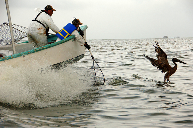 Carl Pellegrin (left) of the Louisiana Department of Wildlife and Fisheries and Tim Kimmel of the U.S. Fish and Wildlife Service prepare to net an oiled pelican in Barataria Bay, La., Saturday, June 5, 2010: Deepwater Horizon Response via Flickr