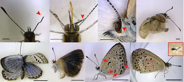 Mutations included malformed antennae, dented eyes, bent wings, and abnormal color patterns. Photo courtesy of Joji M. Otaki
