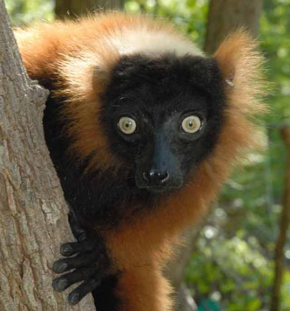 The red-ruffed lemur © Conservation International/photo by Russell A. Mittermeier